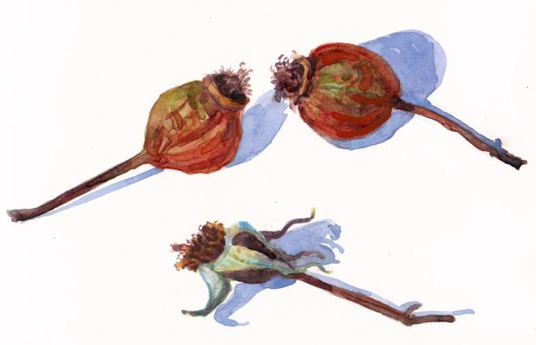 Rosehips, watercolor on hotpress paper, 6x8""