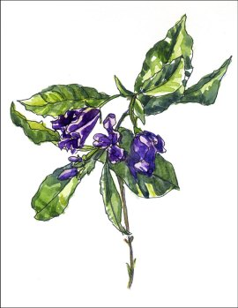 Potato-vine