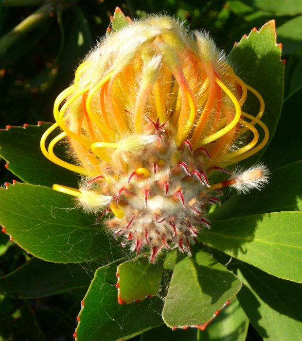 Photo of Proteus blossom