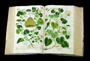 Fuchs illustration of pumpkin in De Historia Stirpium