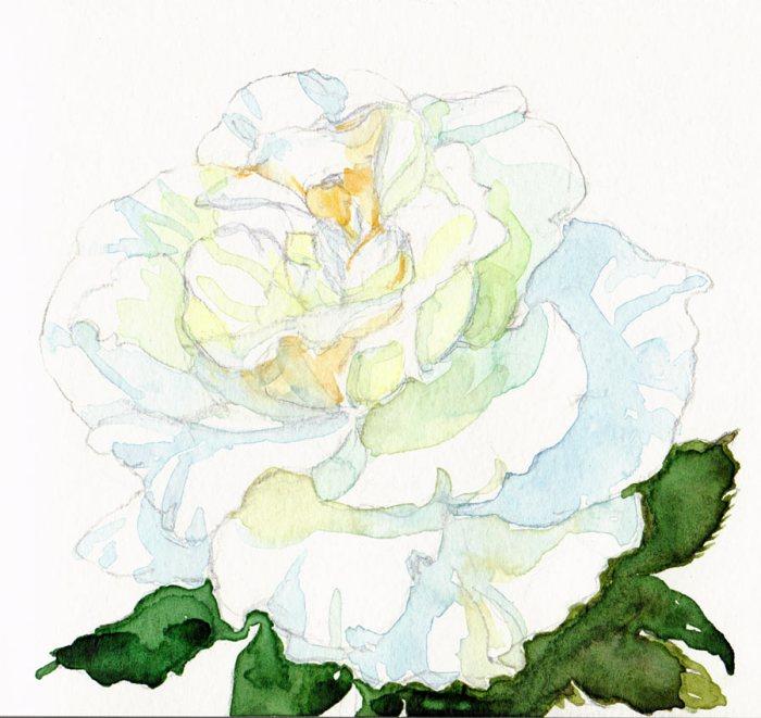 "White Rose #2, pencil & watercolor 5x5"""