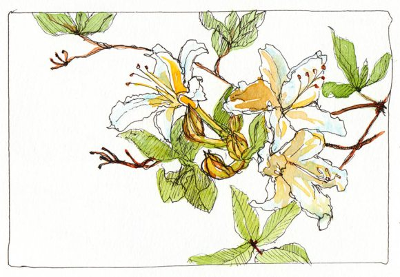 """Pacific May Lilly at Tilden Botanical Garden, ink & watercolor, 4x6"""""""