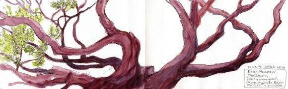 "Manzanita Tree, Ink & watercolor, 5x16"""