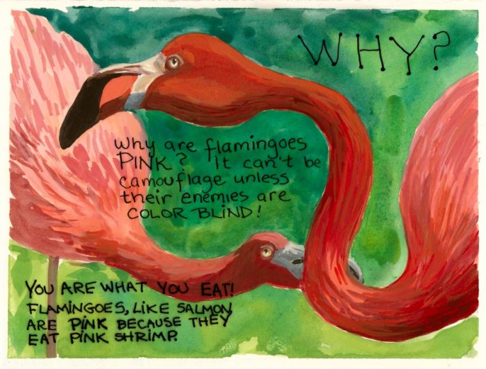 """Why Are Flamingoes Pink? Gouache & Ink, 5.5x7.5"""""""