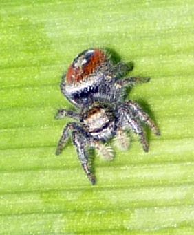 Little Pretty Spider