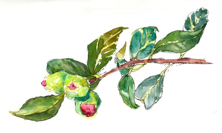 Camelia Buds, ink & watercolor