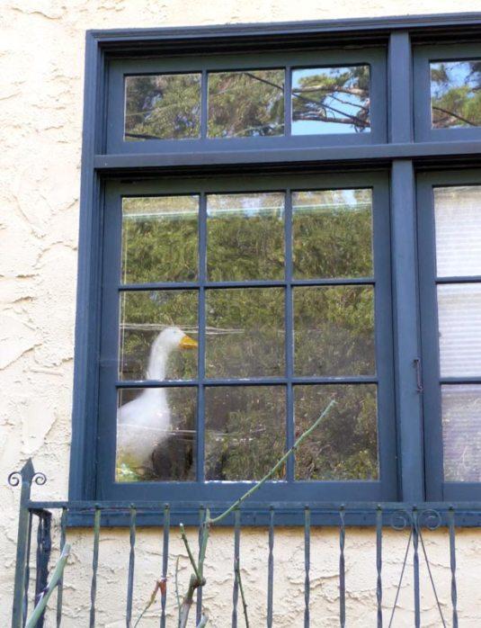 Window Goose