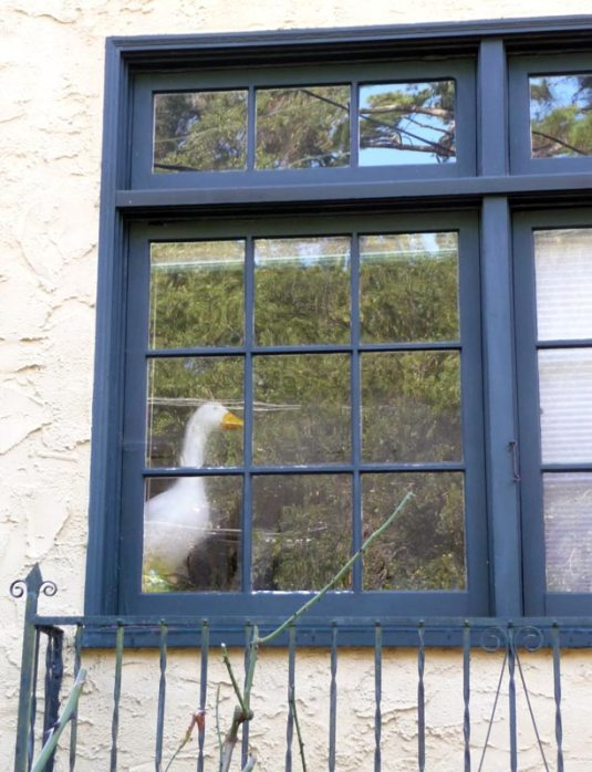Window Goose