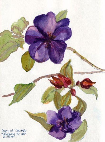 Princess flower bush blossoms, ink & watercolor