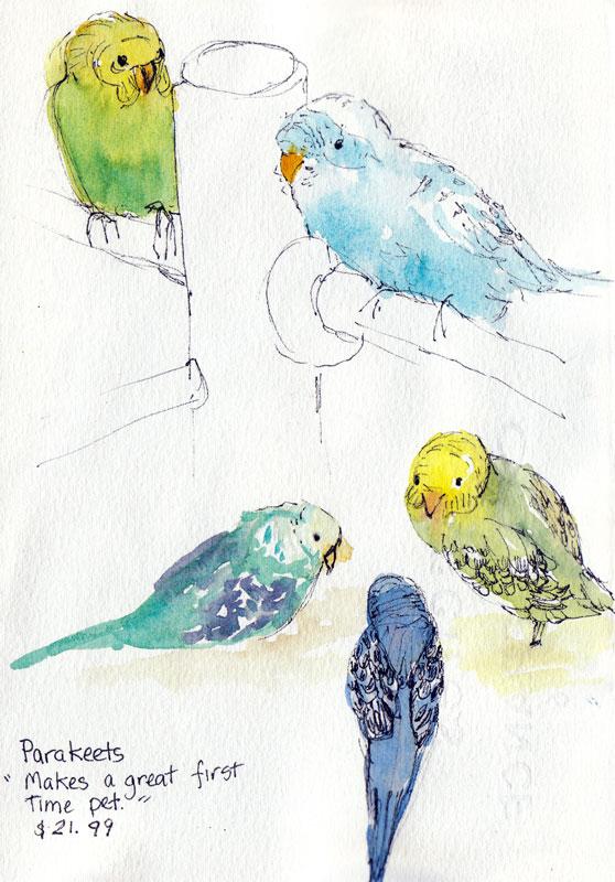 Parakeets at Petco, ink & watercolor