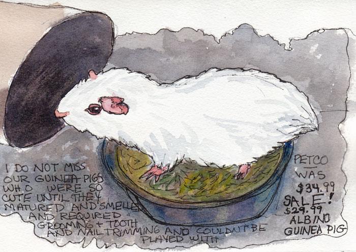 Albino Guinea Pig, ink and watercolor