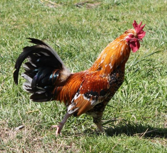 Borges Rooster