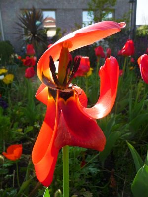 Original reference photo of tulip in garden