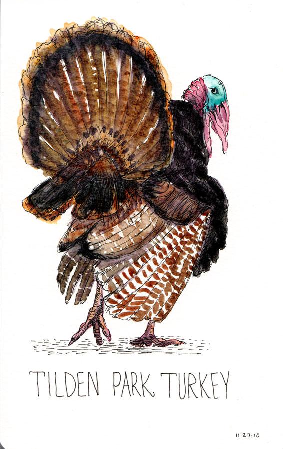 Tilden Park Turkey, ink & watercolor