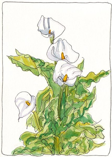 Calla Lillies, ink & watercolor