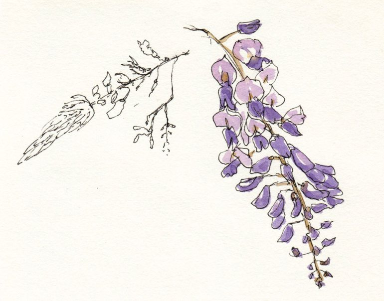 Wisteria close up, ink & watercolor