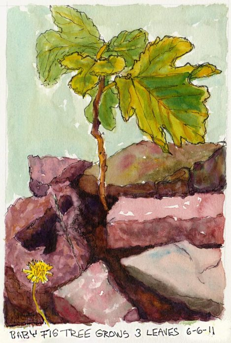 Baby Fig Tree Grows Three Leaves, ink & watercolor, 7x5""