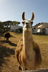 Llamas in Pacifica?