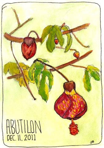 Abutilon Blooming in December, ink & watercolor, 7x5""