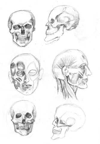 Skulls and Muscles from Loomis book, 11x9""