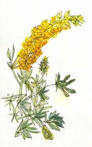 Big yellow wildflowers on stalks, ink & watercolor, 8x5""