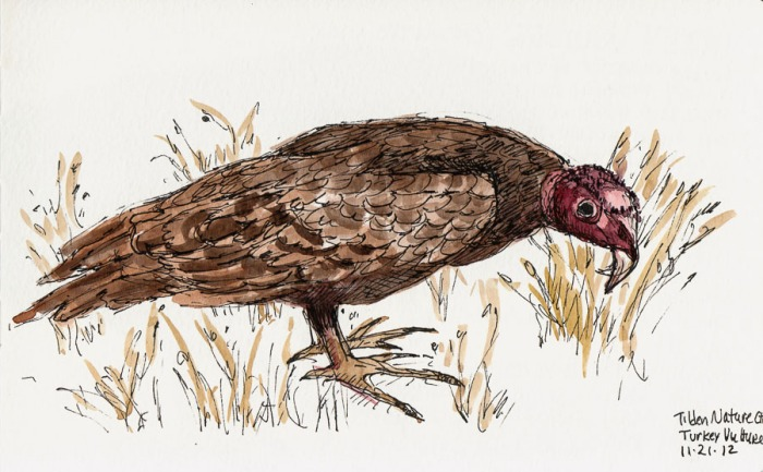 """Turkey Vulture drawn from taxidermy specimen, ink & watercolor, 5x8"""""""