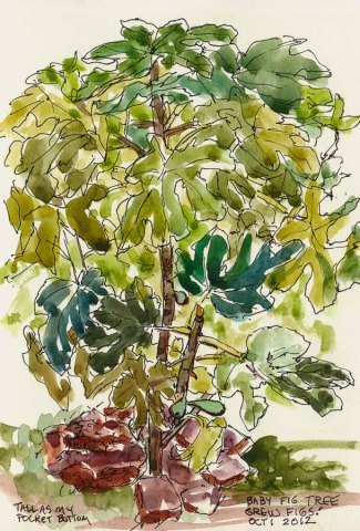 "Fig Tree: Tall as My Pocket, Ink & watercolor, 8x5"", drawing of fig tree"