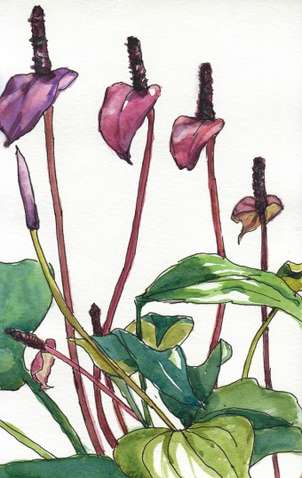 Anthurium 2, ink & watercolor, 5x8""