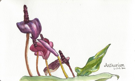 "Anthurium 2, ink & watercolor, 5x8"""