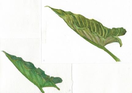 "Lily sketch #3-4, watercolor, 8x10"""