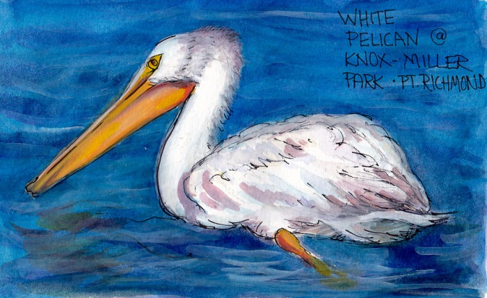 White Pelican, Knox Miller Park, ink, watercolor and gouache, 5x7 in