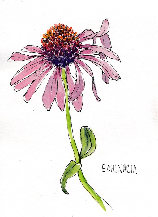 Christina's Garden-Echinacea, ink and watercolor, 5x7 in