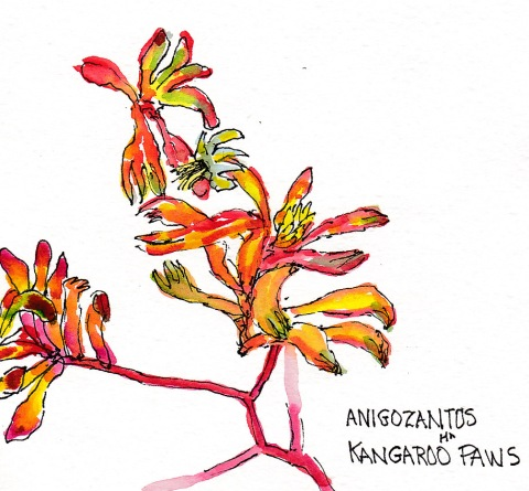 Christina's Garden 3: Kangaroo Paws, ink and watercolor, 5x7 in