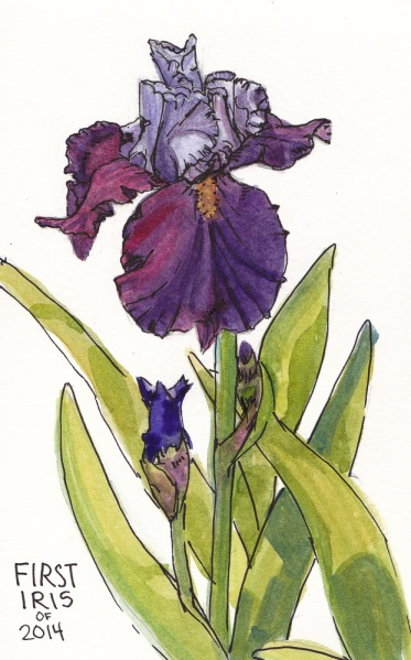Iris, ink & watercolor, 8x5 in