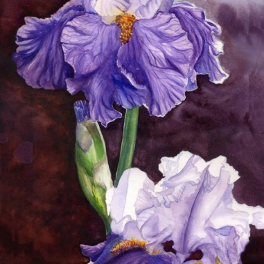 Purple Bearded Iris, watercolor