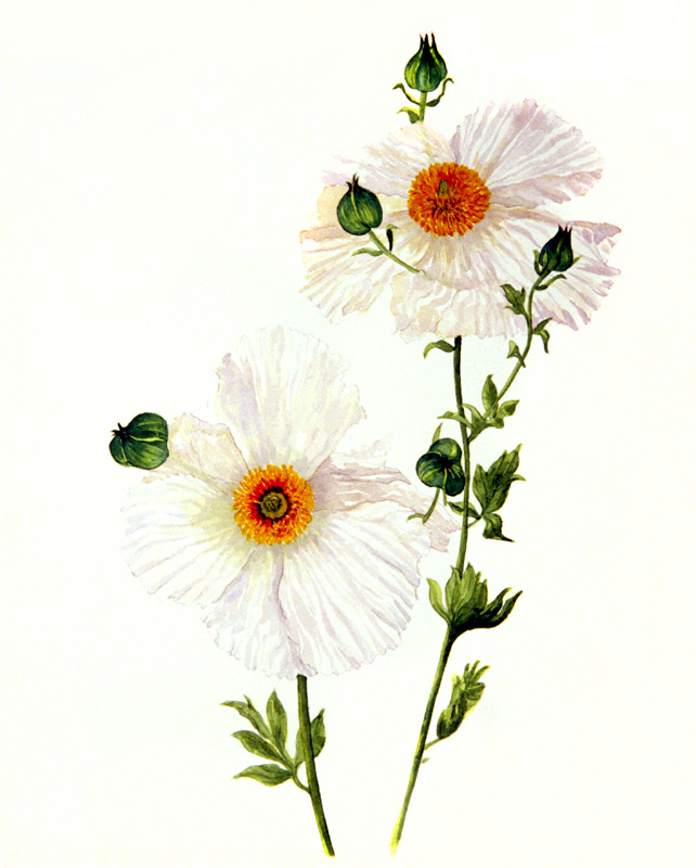 Matilija Poppy, Watercolor