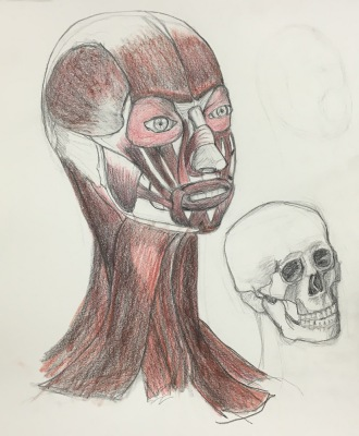 My drawing of the muscles of the head