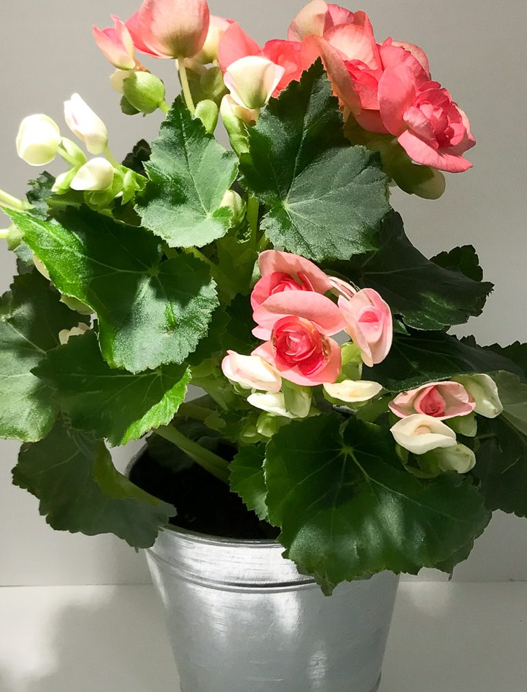 Winter Begonias, Photo reference
